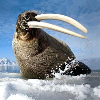 Walrus on ice floe - Obrázkek zdarma pro iPad mini