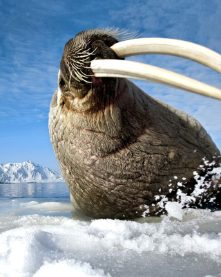 Walrus on ice floe - Obrázkek zdarma pro 128x160