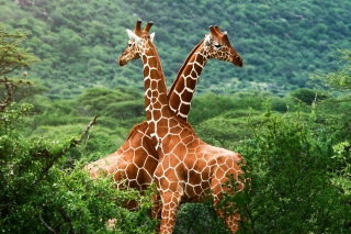 Free Giraffes Picture for Android, iPhone and iPad