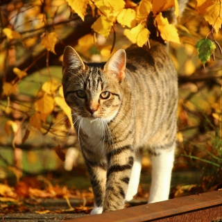 Tabby cat in autumn garden - Obrázkek zdarma pro iPad mini