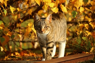 Kostenloses Tabby cat in autumn garden Wallpaper für Android, iPhone und iPad