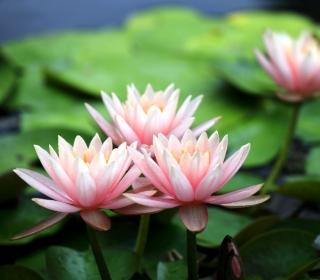 Pink Water Lilies - Obrázkek zdarma pro iPad mini 2