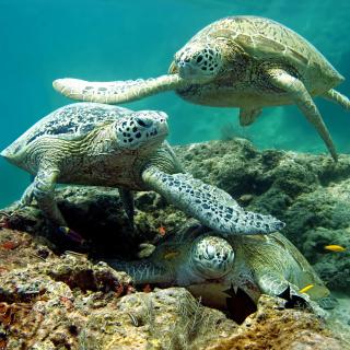 Underwater Sea Turtle HD - Obrázkek zdarma pro 2048x2048