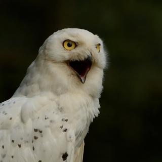 Snowy Owl - Obrázkek zdarma pro iPad