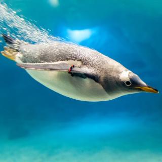 Penguin in Underwater - Obrázkek zdarma pro 320x320