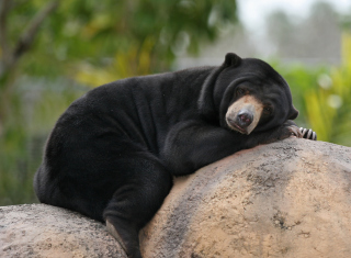 Tired Bear Picture for Android, iPhone and iPad