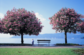 Fisherman Under Sakura Tree Wallpaper for Android, iPhone and iPad