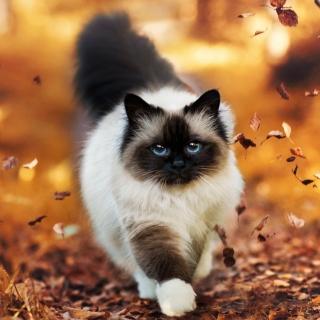 Siamese autumn cat - Obrázkek zdarma pro iPad mini 2