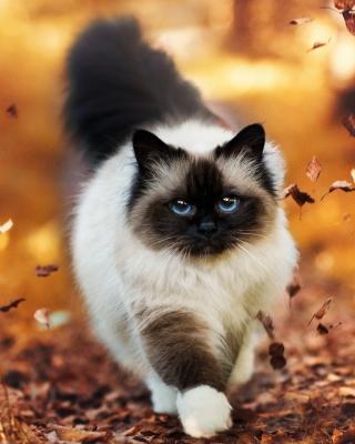 Siamese autumn cat - Obrázkek zdarma pro 360x400