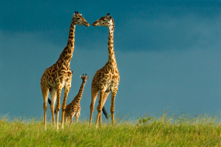Giraffes Family Background for Android, iPhone and iPad