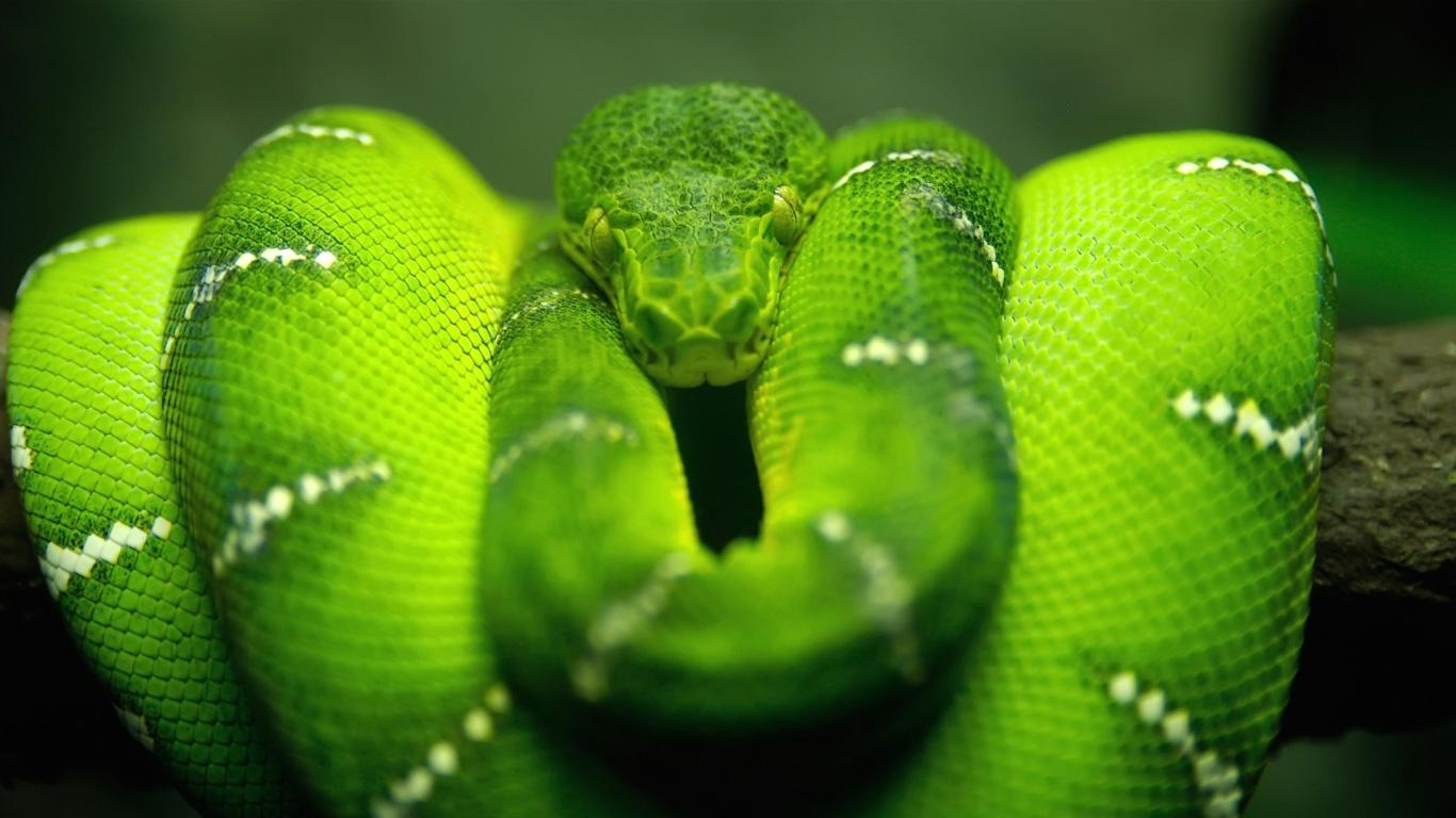 Screenshot №1 pro téma Green Python Snake 1366x768