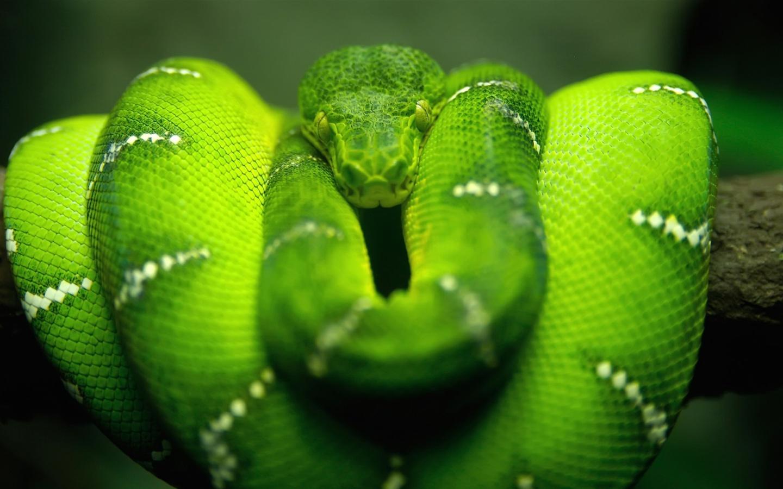 Screenshot №1 pro téma Green Python Snake 1440x900