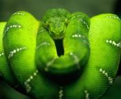 Screenshot №1 pro téma Green Python Snake 176x144