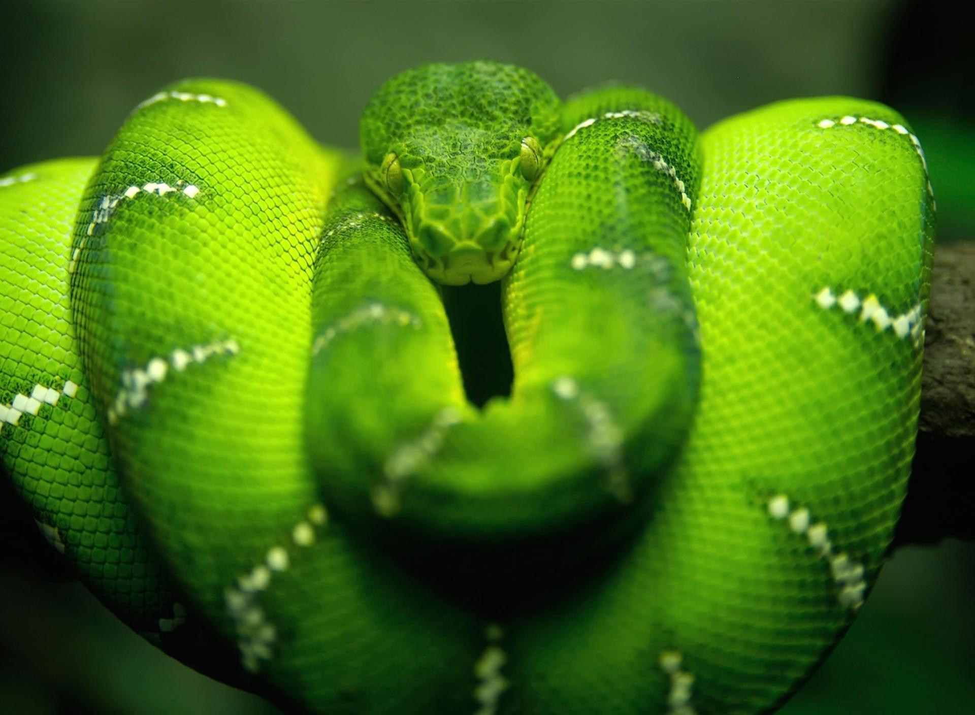 Screenshot №1 pro téma Green Python Snake 1920x1408