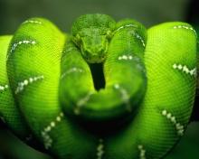 Screenshot №1 pro téma Green Python Snake 220x176