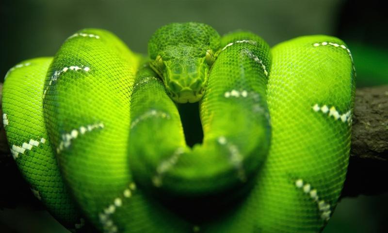 Screenshot №1 pro téma Green Python Snake 800x480