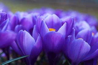 Free Blue Flowers Macro Picture for Android, iPhone and iPad