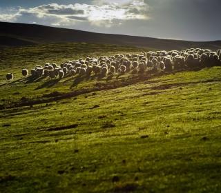 Sheep On Green Hills Of England - Obrázkek zdarma pro 208x208