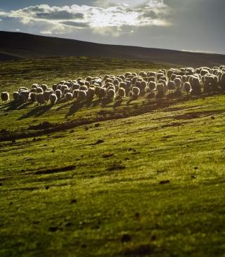 Sheep On Green Hills Of England - Obrázkek zdarma pro 320x480