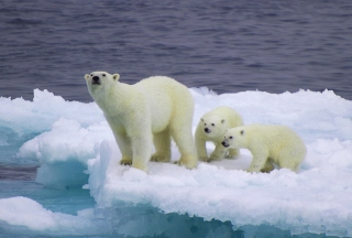 Polar Bear And Cubs On Iceberg Background for Android, iPhone and iPad