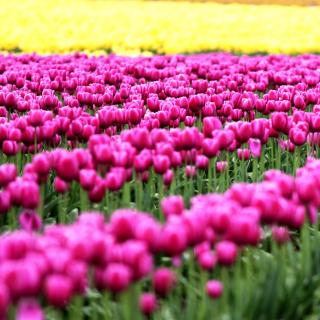 Tonami, Toyama Tulips Garden - Obrázkek zdarma pro 128x128