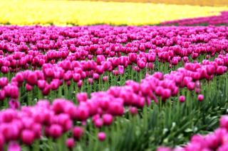 Tonami, Toyama Tulips Garden - Obrázkek zdarma pro 1440x900