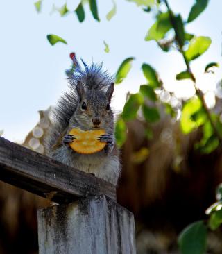 Squirrel Eating Cookie - Obrázkek zdarma pro Nokia Asha 202