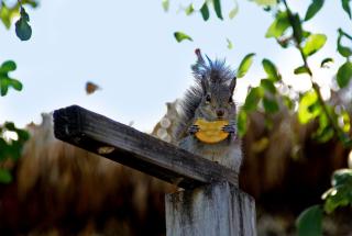 Squirrel Eating Cookie - Obrázkek zdarma pro Desktop 1920x1080 Full HD