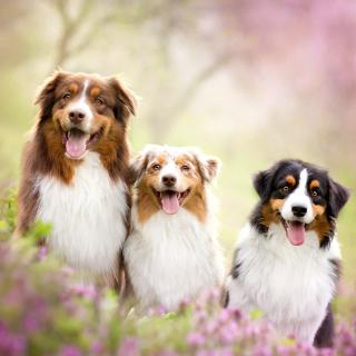Australian Shepherd Dogs - Obrázkek zdarma pro iPad