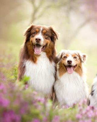 Australian Shepherd Dogs - Obrázkek zdarma pro 360x480