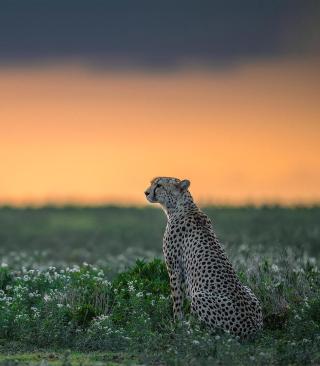 Cheetah - Obrázkek zdarma pro Nokia C2-00