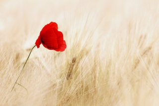 Pretty Single Poppy Background for Android, iPhone and iPad
