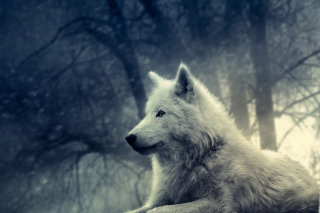 White Wolf Painting Picture for Android, iPhone and iPad
