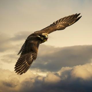 Falcon - Obrázkek zdarma pro 1024x1024