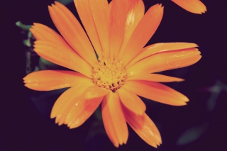 Orange Flower Picture for Android, iPhone and iPad