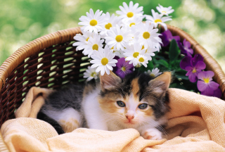 Free Kitten With Daisies Picture for Android, iPhone and iPad