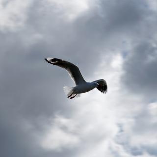 Seagull In Sky - Obrázkek zdarma pro 1024x1024