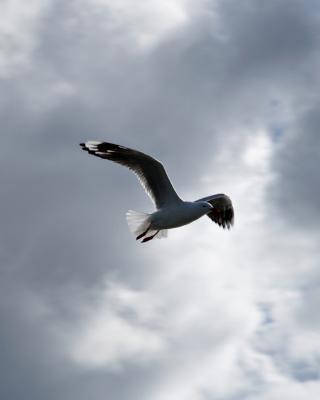 Seagull In Sky - Obrázkek zdarma pro iPhone 5C
