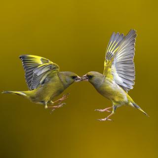Birds Kissing - Obrázkek zdarma pro iPad