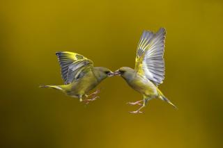 Birds Kissing - Obrázkek zdarma pro 1400x1050