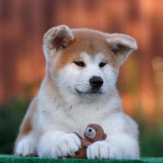 Akita Inu Puppy - Obrázkek zdarma pro 208x208