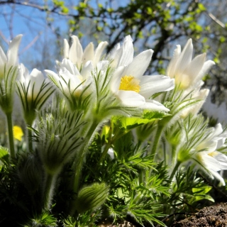 Anemone Flowers in Spring - Obrázkek zdarma pro 320x320