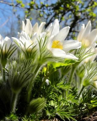 Anemone Flowers in Spring - Obrázkek zdarma pro 768x1280