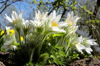 Anemone Flowers in Spring Background for Android, iPhone and iPad