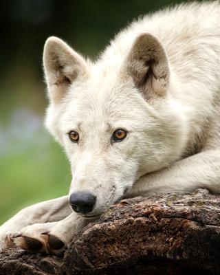 Arctic wolf - Obrázkek zdarma pro Nokia 5800 XpressMusic