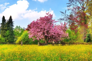 Flowering Cherry Tree in Spring Background for Android, iPhone and iPad