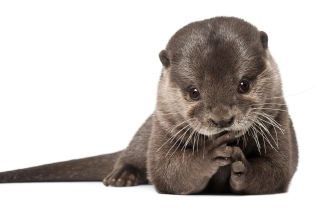 Otter Wallpaper for Android, iPhone and iPad