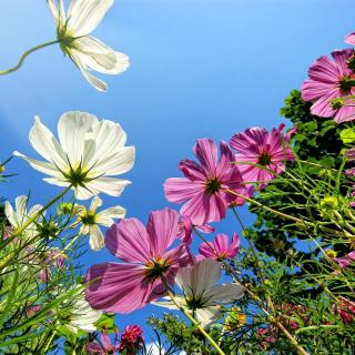 Cosmos flowering plants - Obrázkek zdarma pro 128x128