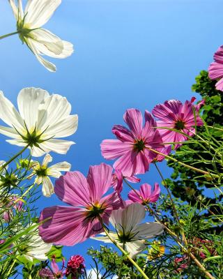 Cosmos flowering plants - Obrázkek zdarma pro Nokia Asha 308