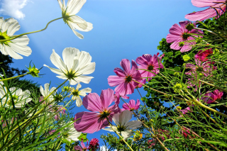 Cosmos flowering plants Background for Android, iPhone and iPad